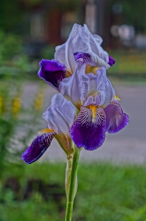 Flower, Summer, Iris, Irises, Beauty, Beautiful Flower