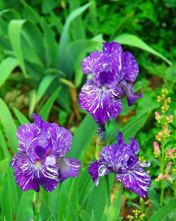 Irises, Flower, Violet, Plant