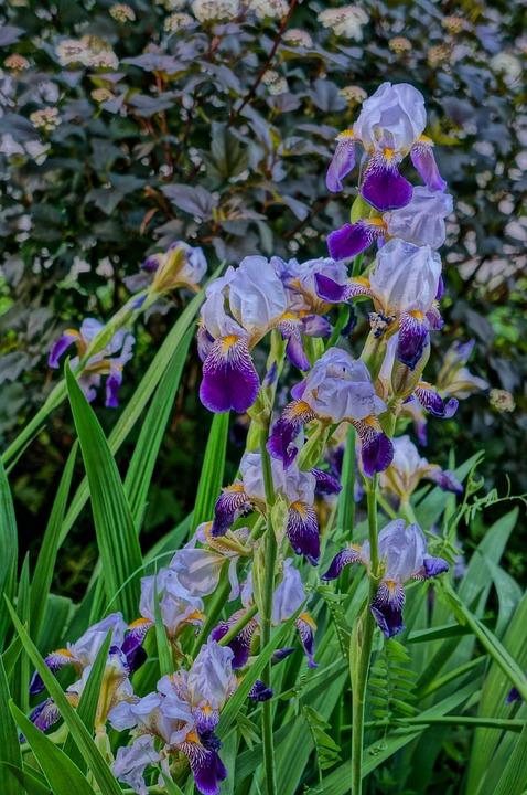Flowers, Summer, Iris, Irises, Beauty