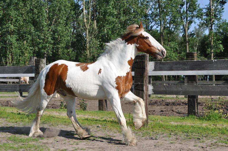 Horse, Irish Cob, Galop, Horses, Animal, Stallion, Wild