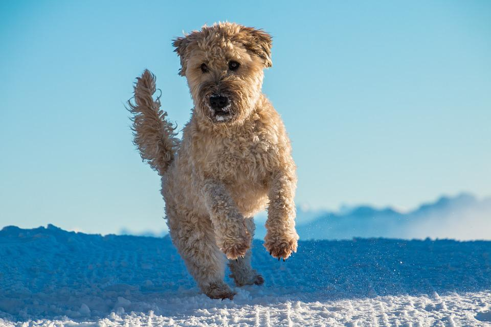 Dog, Jump, Play, Irish Soft Coated Wheaten Terrier