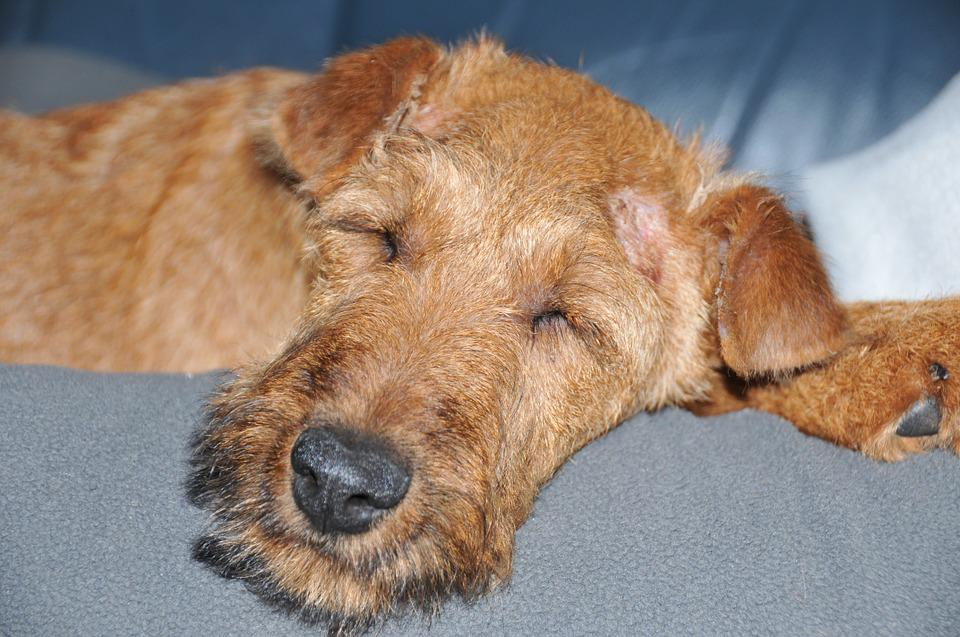 Irish Terrier, Dog, Sleeping, Pet, Animal, Portrait
