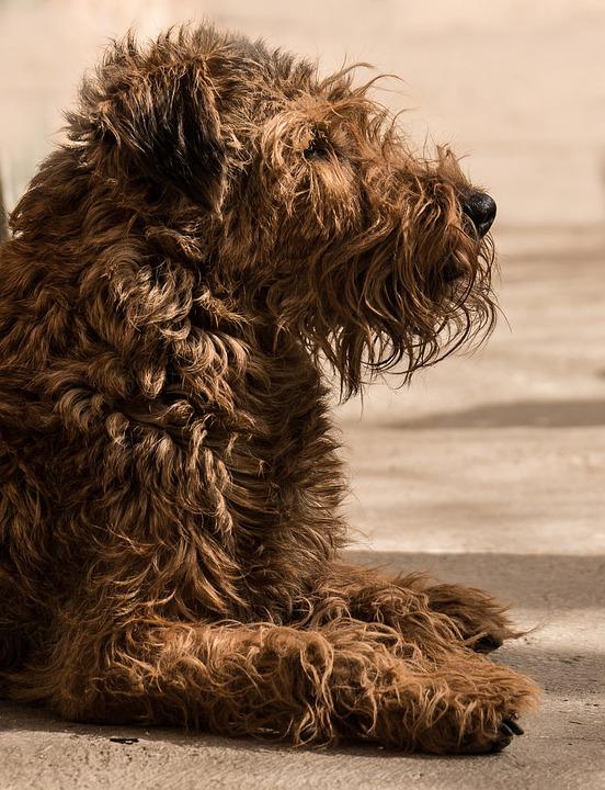 Irish Terrier, Dog, Ungetrimmt, Reverse Wuschelt