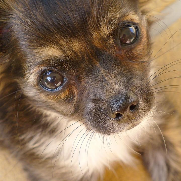Free Photo Irresistible Adorable Eyes Cute Puppy Dog Eyes Max Pixel