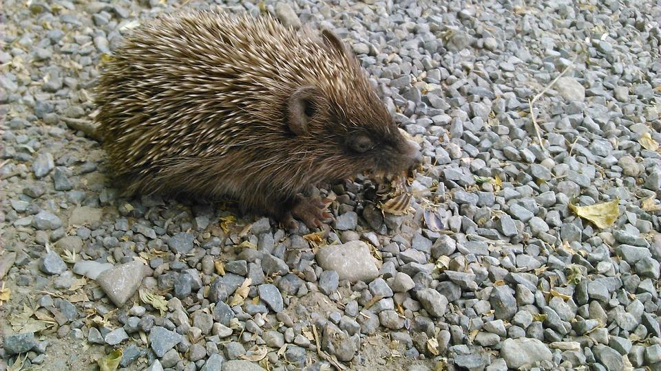 Hedgehog, Animal, Nature, Is From, Snake Skin
