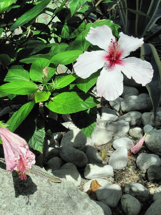 Mediterranean, Ischia, Hibiscus Flower, Lizard