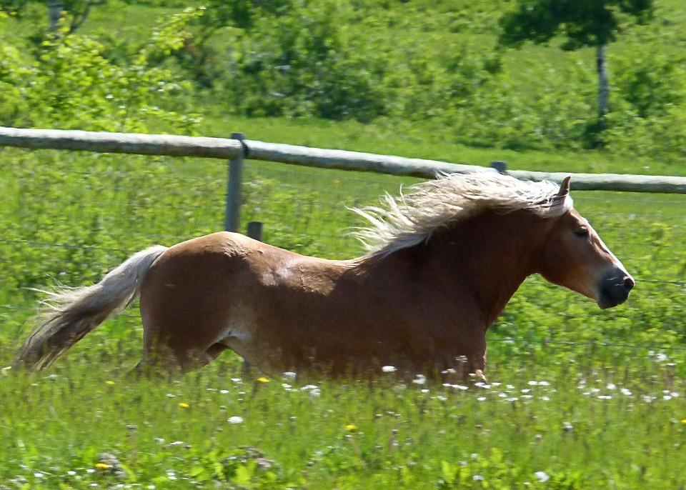 Galloping, Islaender, Horse, Mammal, Animal, Nature