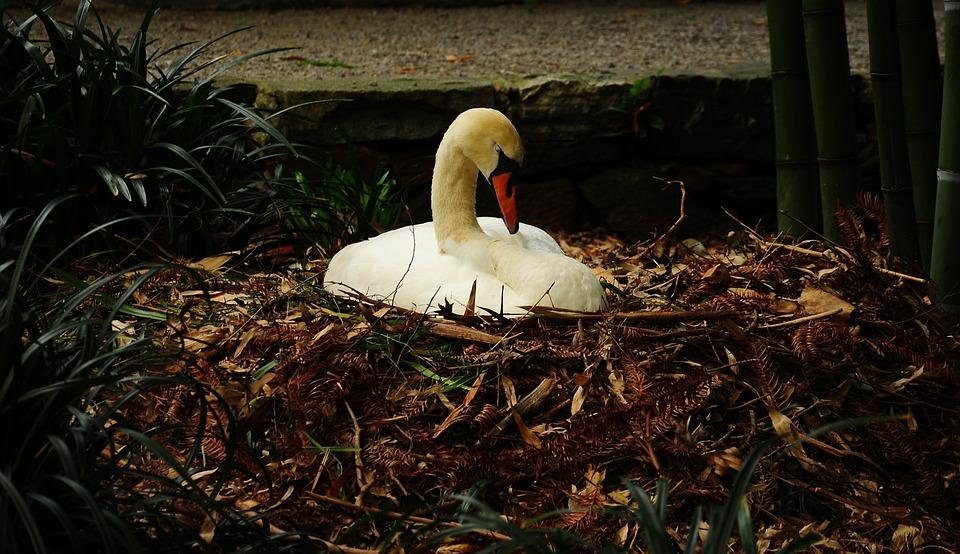Brissago, Islands, Swan