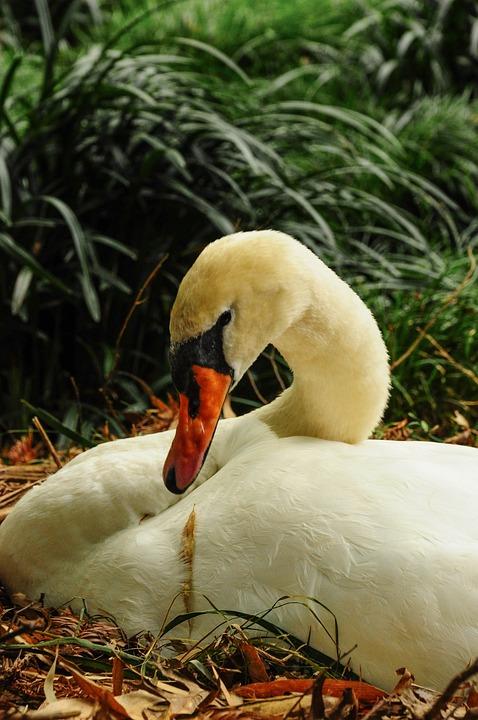Swan, Brissago, Islands