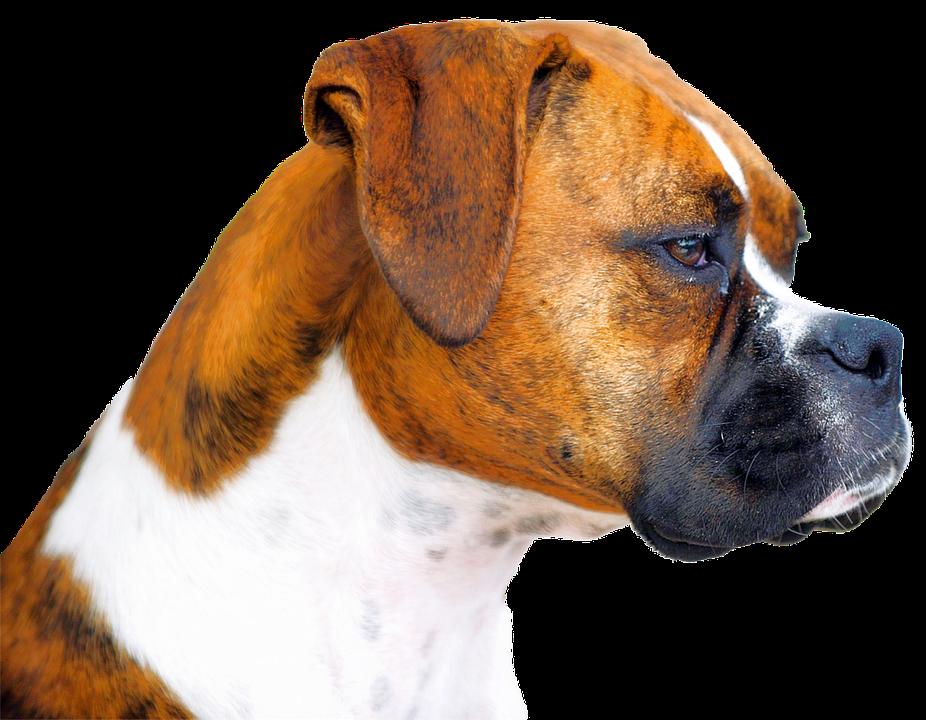 Isolated, Boxer, Dog, Animal Portrait, Animal, Dog Look
