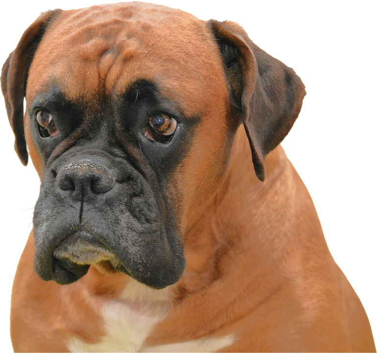 Isolated, Dog, Brown, Pet Portrait Purebred Animal