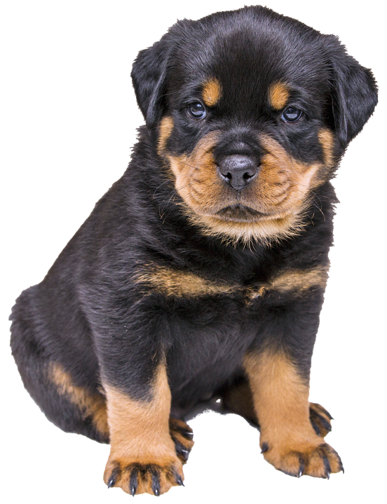 Isolated, Rottweiler Puppy, Dog, Nature