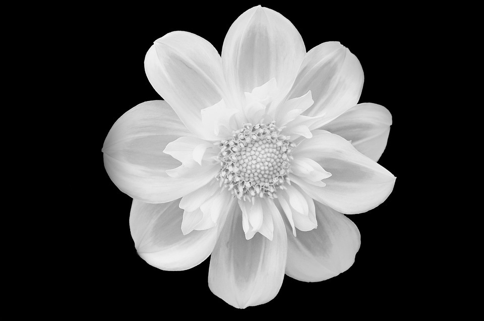 Free photo isolated flower white black background flowers max pixel flower flowers black isolated background white mightylinksfo