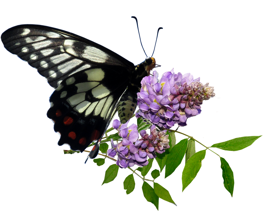 Butterfly, Wisteria, Flower, Cut Out, Isolated Insect