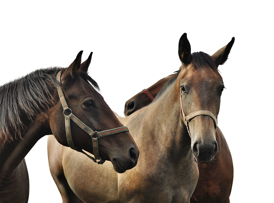 Horses, Isolated, Brown, Ride, Animal, Mane