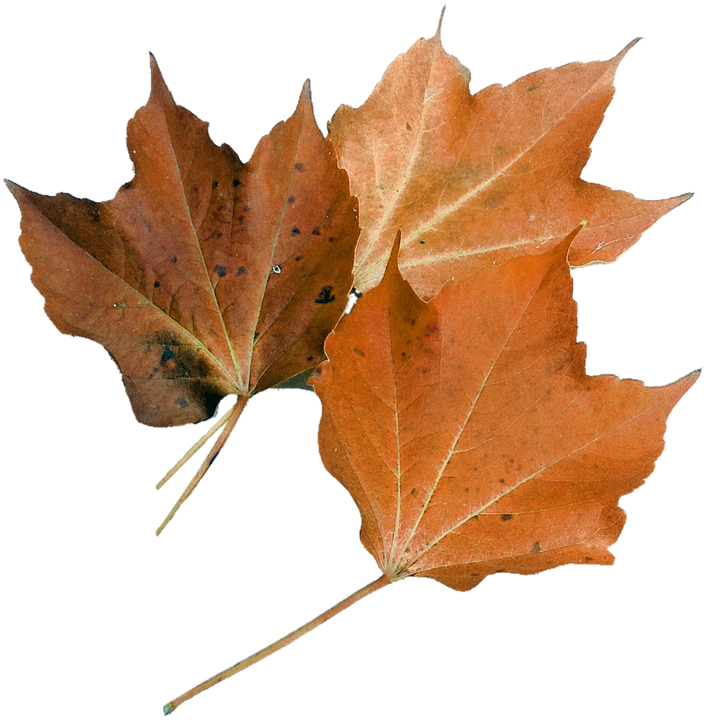 Isolated, Maple Leaf, Nature, Plant, Autumn Leaf