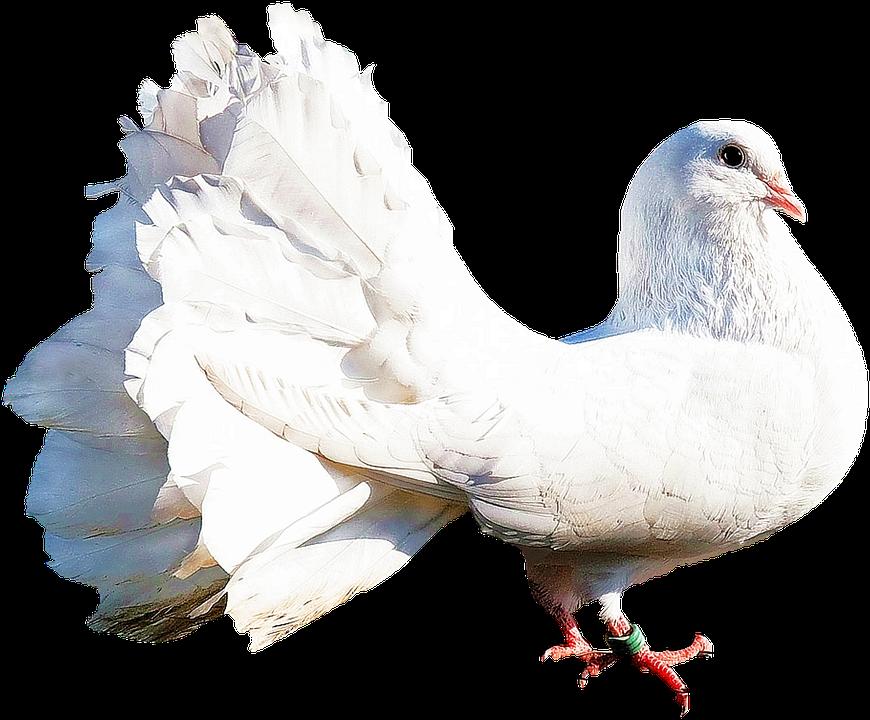 Isolated, White Dove, Bird, Nature, White