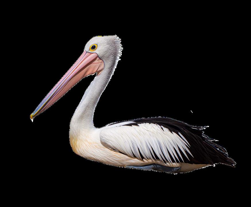 Pelican, Seabird, Wildlife, Isolated, Sitting