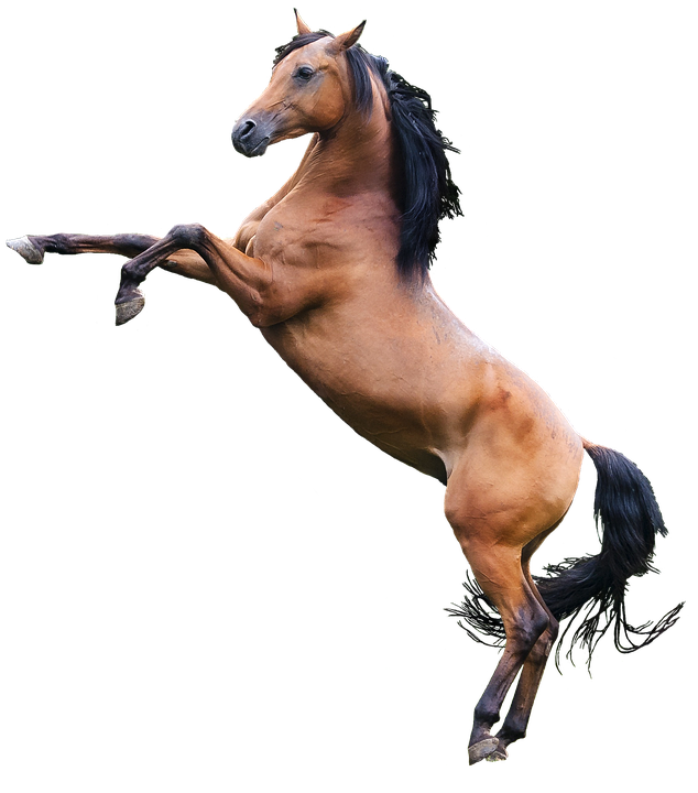 Arabian, Horse, Stallion, Png, Isolation, Cutout