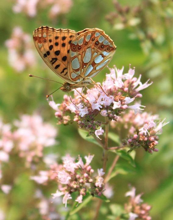 Butterfly, Fritillary, Gorj, Issoria, Lathonia