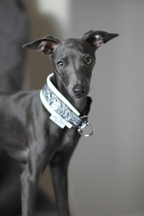 Dog, Italian Greyhound, Cute, Pet, Animal, Purebred