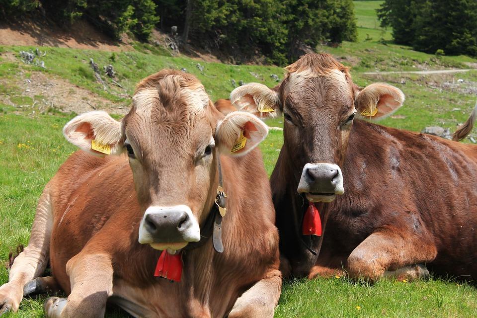 Alpine, Alm, Cows, Italy, South Tyrol, Landscape