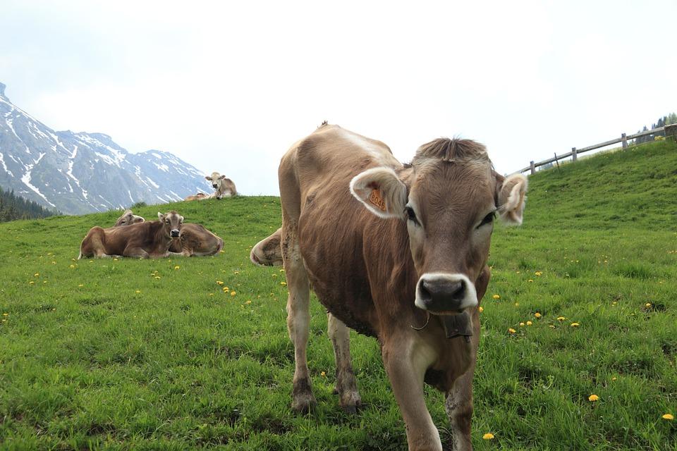 Italy, Cow, Mountain, Pastureland, Cowbell, Livestock
