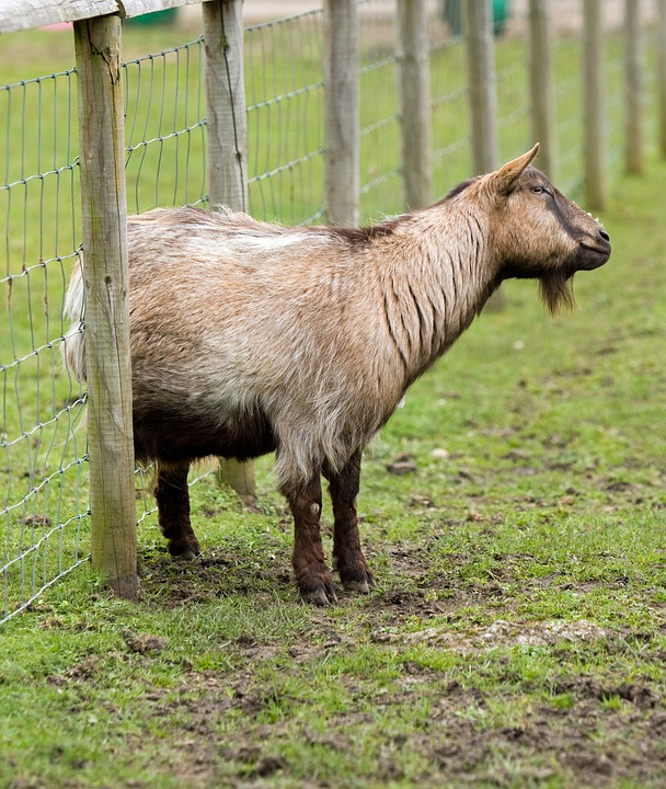 Goat, Itch, Itchy, Scratching, Fence, Animal, Outdoors