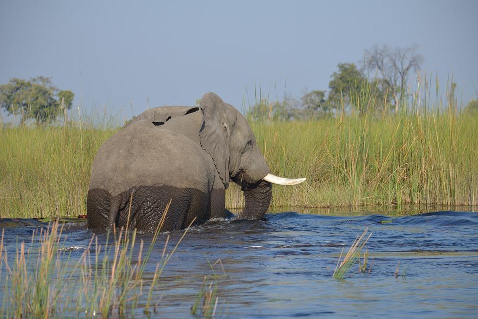 Elephant, Botswana, Africa, Safari, Ivory, Mammal