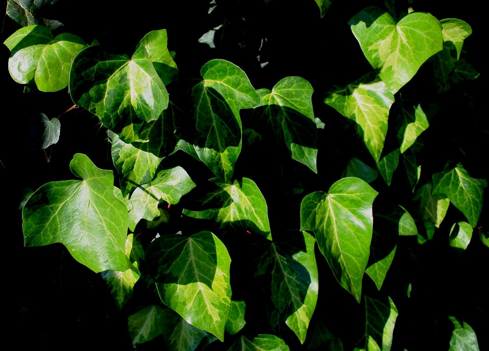 Leaves, Ivy, Green, Veined, Blanched, Sunlight, Climber