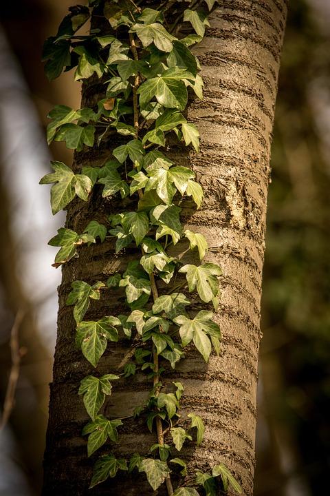 Tree, Ivy, Leaf, Plant, Growth, Nature, Wood