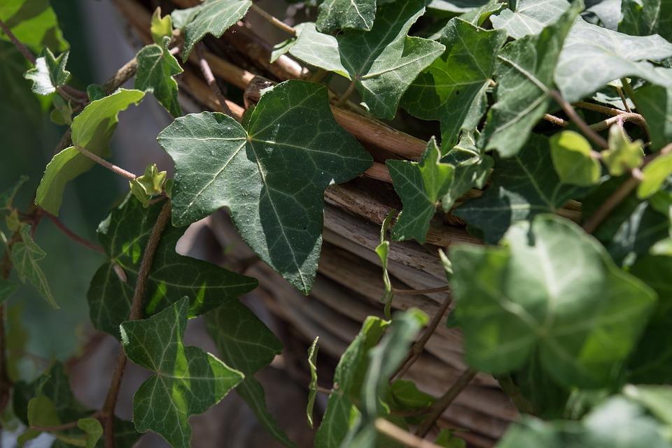 Ivy, Plant, Climber, Green, Leaves, Close, Ivy Leaf