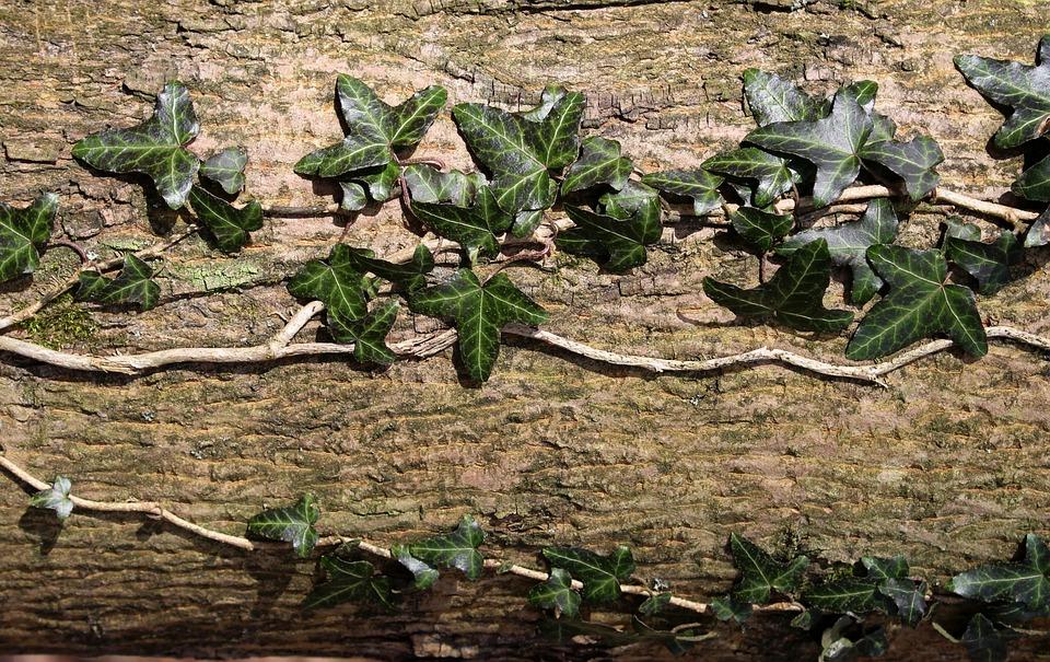 Ivy, Creeper, Nature, Tree, Leaf, Plant
