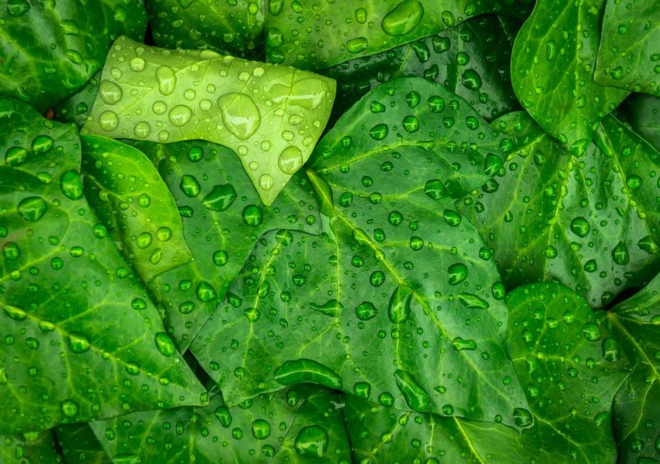 Plants, Green, Nature, Trickle, Ivy, Leaf, Hwalyeob