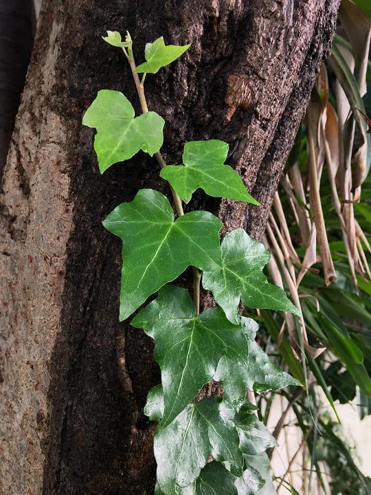 Ivy, Trunk, Green, Leaf, Nature, Vegetation, Plants