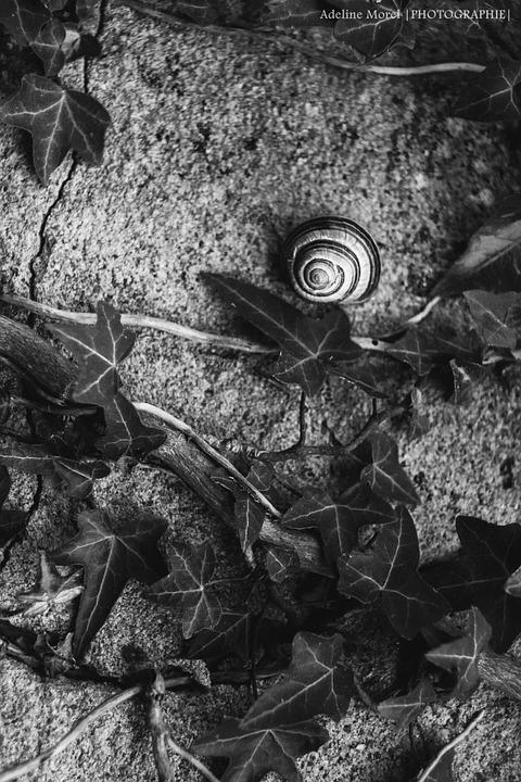 Snail, Ivy, Wall, Black And White