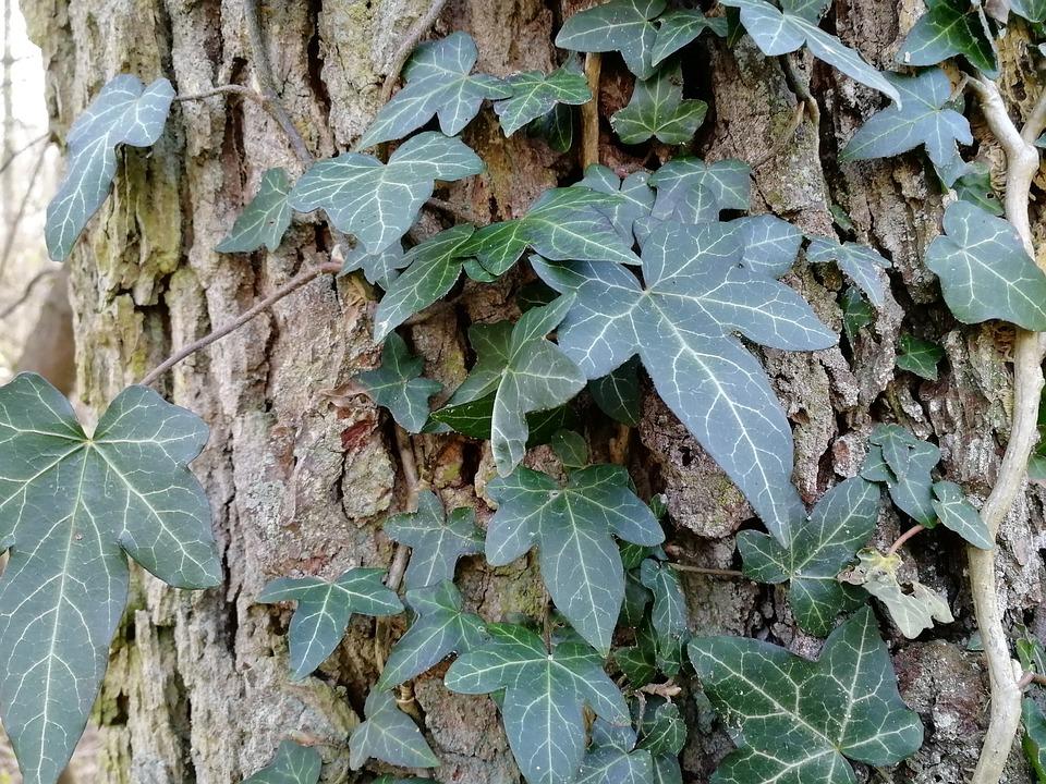 Leaf, Ivy, Plant, Tree