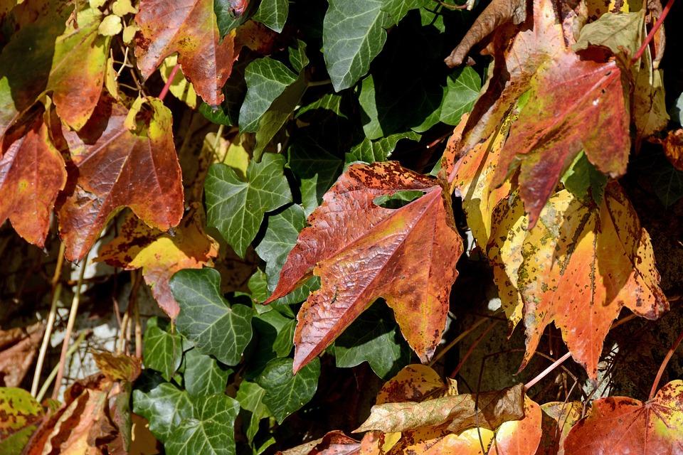 Wine Partner, Ivy, Autumn Colours, Autumn, Fall Color