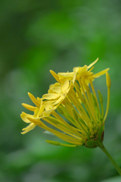 Ixora, Nature, Flower, Leaf, Plant, Outdoor, Petal