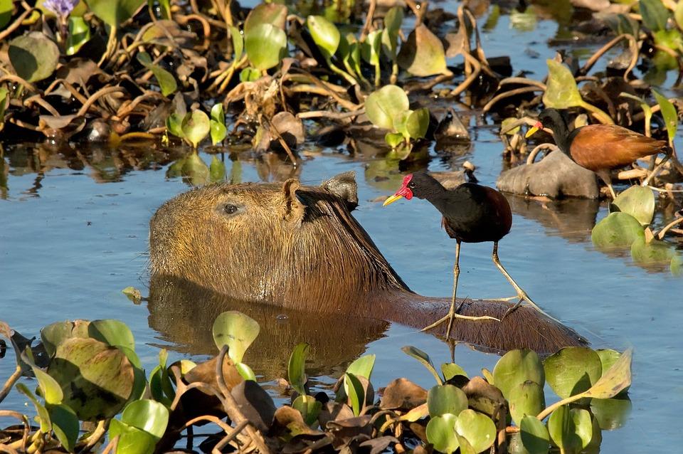 Capybara, Rodent, Jacana, Bird, Taxi, Llanos, Venezuela