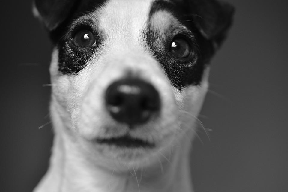 Dog, Jack, Russel, Terrier, Cute, Animals, Look