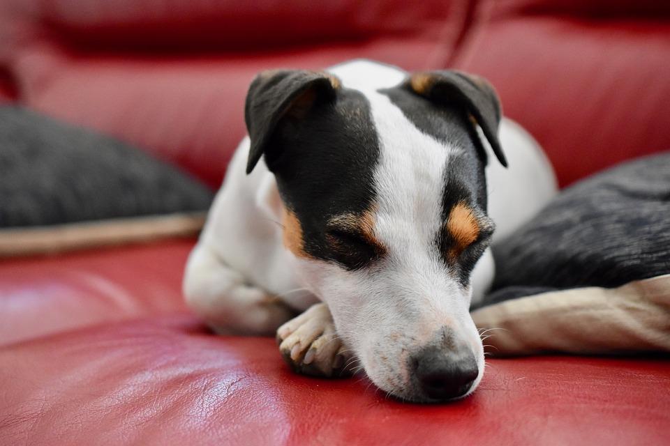 Jack Russel, Dog, Sleep, Sofa, Adorable, Funny