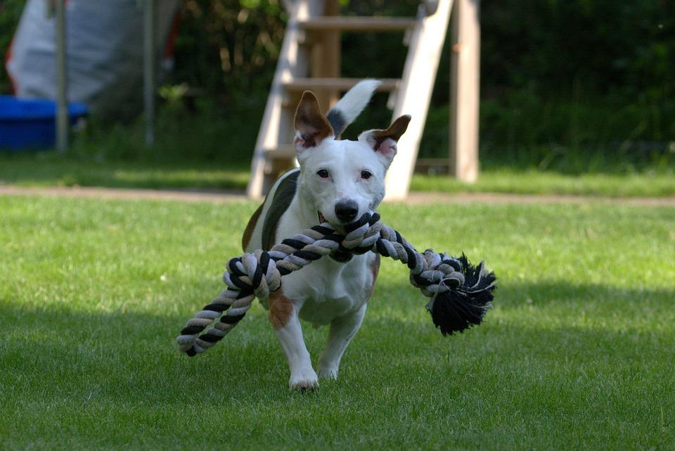 Terrier, Jack Russell, Animal Portrait, Pet, Dog