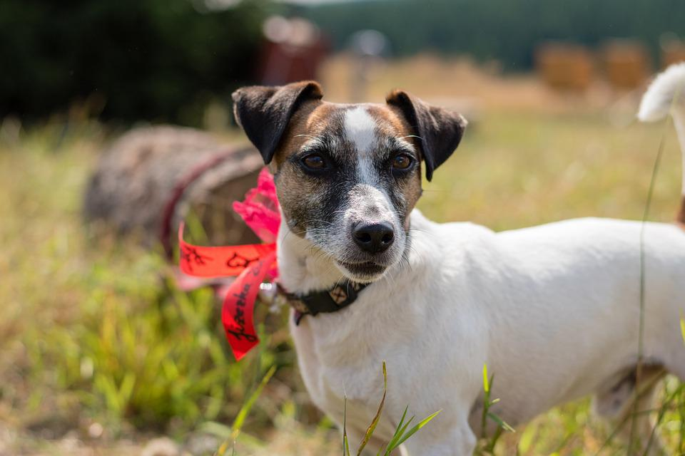 Jack Russell Terier, Dog, Russell, Terrier, Pet