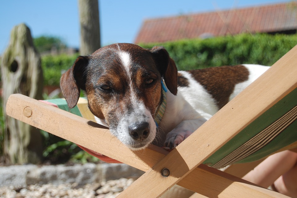 Dog, Jack Russell, Animal, Pet, Jack Russell Terrier