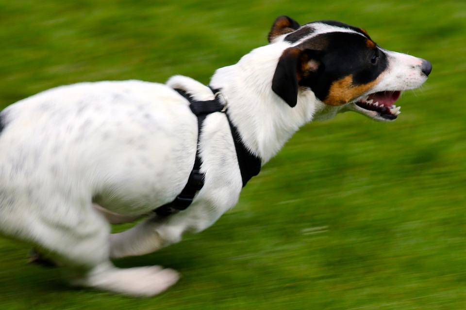 Jack Russell Terrier, Dog, Running Dog, Terrier