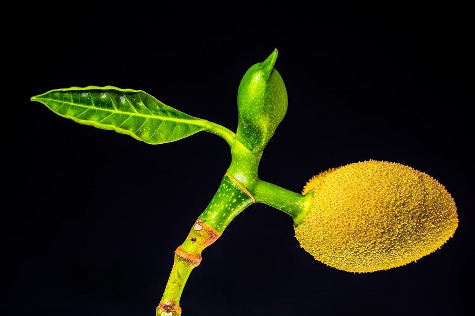 Jackfruit, Fruit, Plant, Jack Tree, Tropical Fruit