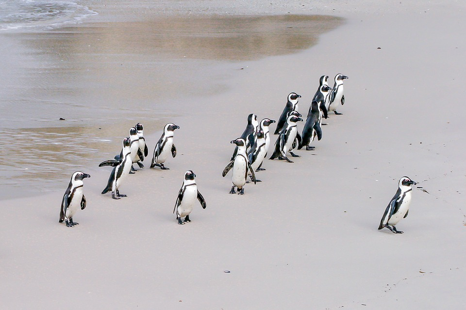 Penguin, Jackass, Leader, Boss, Lonely, Team, African