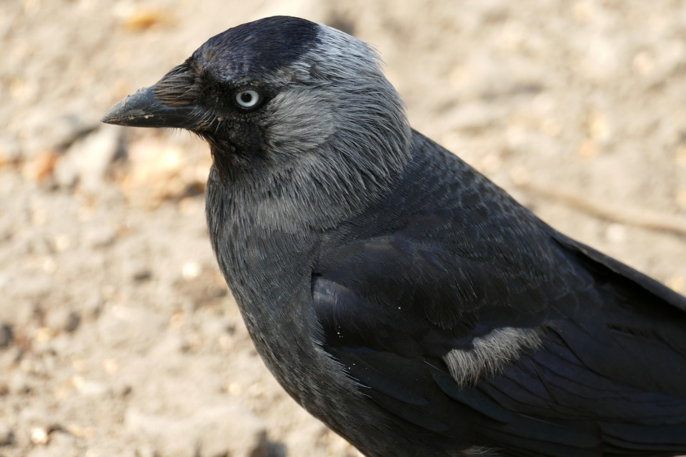 Jackdaw, Coloeus Monedula, Crow, Songbird, Bird, Fauna