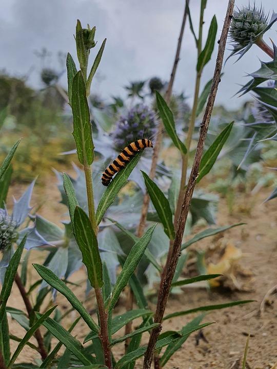 Caterpillar, St Jacobsvlinder, Jacobskruiskruid